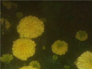 夜光下的秋菊