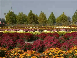 《九月是�的故�l》作者:胡�疃嗝疵利�秋色九月是�的故�l一朵朵菊花悄悄�`放一�����S收美景映著
