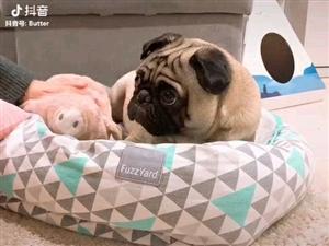 �I�B或低�r�I一只巴哥幼犬