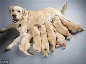 出售金毛幼犬一只
