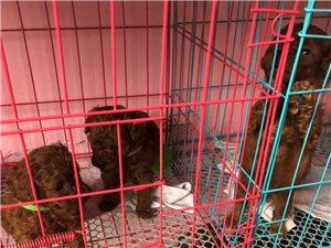 无极天虹萌宠犬舍,常年出售各种颜色泰迪幼犬,比熊幼犬,博美幼犬,灰色爆红色泰迪种公借配