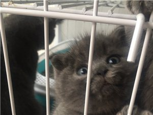 家养蓝猫出售,包子脸小耳朵,品相质量有保障