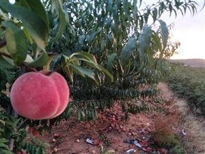 天亮来摘桃子