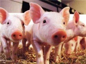 市政府要求:寻乌要完成14万头生猪生产目标!