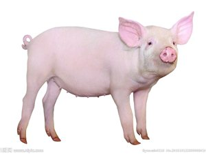 猪瘟补贴金