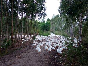 海南东方小洪养殖场鸡鸭鱼