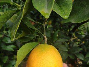 大量收购50-70脐橙,长期合作,量大量少都可以