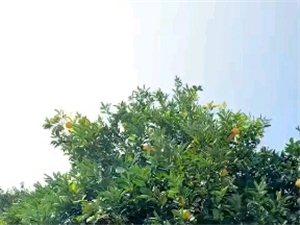 来个漂亮的橙子视频,诱惑一下!