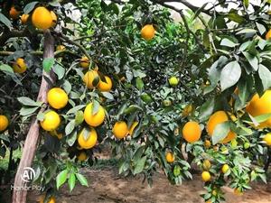 载下有脐橙3~4万斤,有意者可来山里果园看