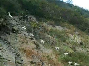小河北316国道上方这样放羊可以吗,下面的行人车辆安全吗?出了事故谁来负责?
