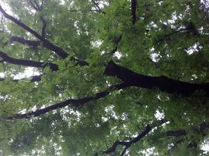 百年古树风韵
