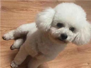 本人于11月8日10点左右,在南城老一中水文站往下贤典街往南海街丢失白色比熊犬一只。身穿黄色悟字身