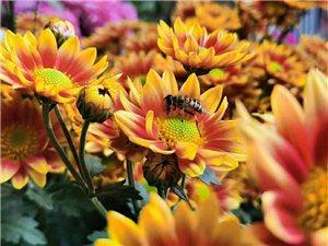 漂亮的菊花!
