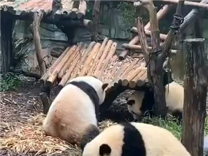 呆萌的小可爱#成都熊猫基地#