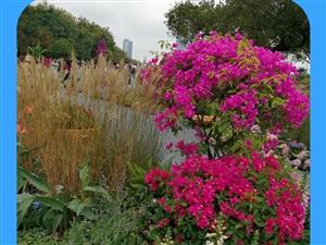 2019-11-12深圳连花公园一游拍下了美丽的鲜花