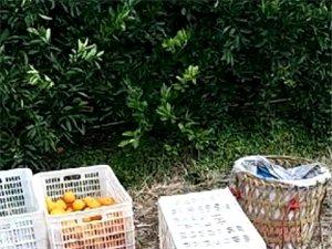 自家种植红肉橙,有需要朋友请联系