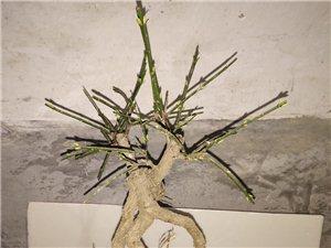 小盆栽,喜�g��