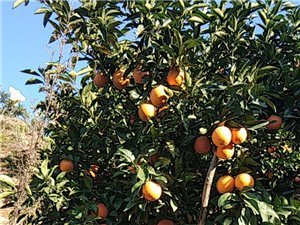 本人有纽贺尔脐橙3万5千斤左右,果面干净,果头均匀。欢迎老板前来订购