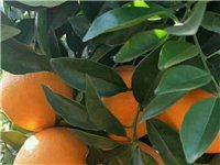 脐橙七八万斤,看果地点水源