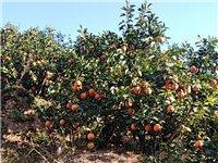 本人有纽贺尔脐橙3万5千斤左右,果面干净,果头均匀,着色度靓