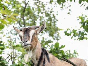 """习水黔北麻羊!""""永安弘馨羊肉""""本店采用自养殖自宰杀自加工的生产方式为您提供优质放心的原生态羊肉。"""