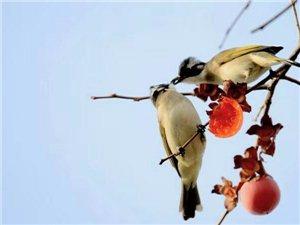 【中吕・醉高歌带喜春来带红绣鞋】《冬柿鸟趣》文/郑富民