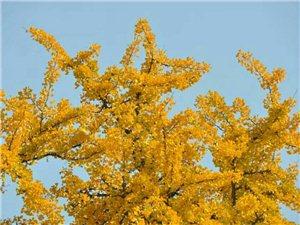 秋冬,小�^美��的�y杏��
