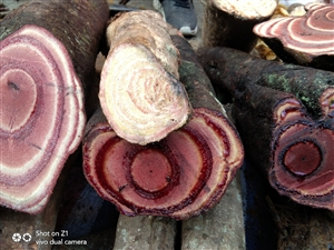 这树苗哪有卖的,这树老值钱了,论片卖,明年改行种树。老板说了这树功能强大哪疼抹哪,哪痒抹哪,哪肿