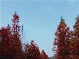 溧水�o想山路�的水杉�洌�也挺好看的哦。