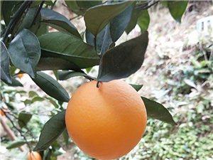 吉潭脐橙有4千多斤,可分开卖,要多少买多少