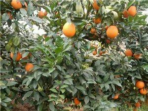 本人澄江有脐橙1万多斤急卖,价格美丽,欢迎老板们订购