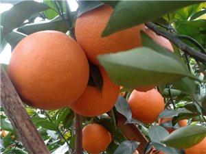 水源有脐橙靓果一份,果皮干净,2万多斤