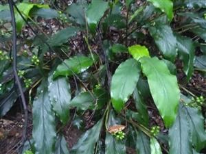 我的植物�@―山姜