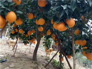有脐橙6万斤左右,果园在盘古,随时可看果