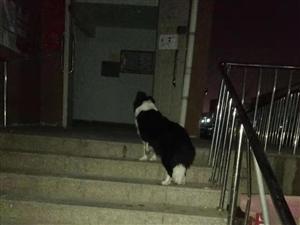 �牧狗狗找主人,狗狗想回家