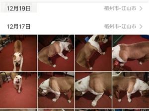 朋友回家�Р蛔哂��斗牛犬40一50斤,�I�M一�f多,�F�理�r1680元??13567081368一68