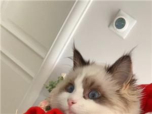 宠物布偶猫