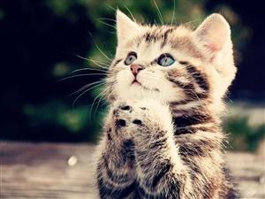 想领养或购买一只奶猫