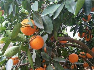 南桥有1.5万斤脐橙急卖,价格美丽欢迎老板订购