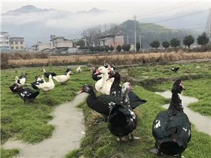 自家养的鸭子,无任何饲料寄养,都是吃谷、熟食长大的,非常健康,数量有限咯,在东港葡萄基地那里,先订先