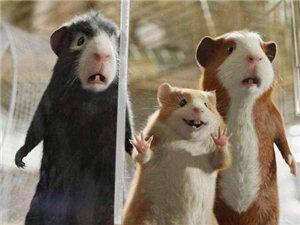 鼠年将至。你会养豚鼠做宠物吗?