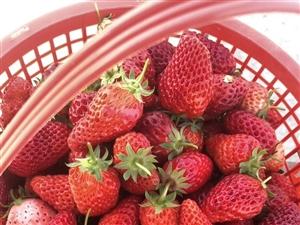 �S香草莓采摘基地