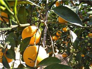 有几千斤树上的鲜果脐橙,几百斤也供货,可以送货上门