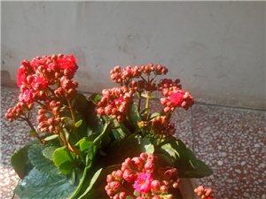 相比前几天的阴冷,今天的太阳显得格外温暖,家里的两盆花被我养成了:一盆花儿开,一盆花儿败。人生也如