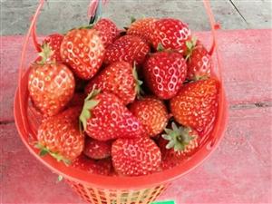 草莓�v�u,10元一斤