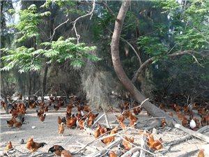 东方市内卖阉鸡零售或批发价(可送货上门)