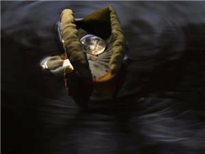 【库存分享】荷叶上的露珠在阳光下折射出璀璨的光芒,光华夺目得像是上等的水晶。摄影:#珠海度假村酒店