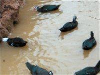 即将下蛋的红面鸭番鸭嘛,每只4-5斤,县城附近包送