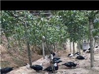 自家果山养的鸭子,有红面鸭、野罗鸭,鸭麻子,地址在黎坑凹
