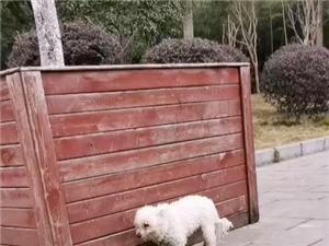 寻狗,一只比熊